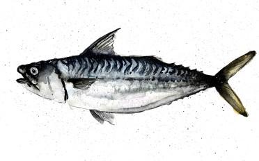 mackerel_o